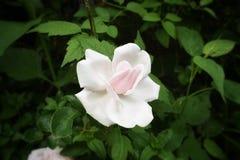 Rose sauvage Photographie stock