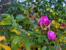 Rose sauvage Image libre de droits