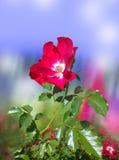 Rose sauvage Image stock
