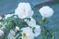 Rose sauvage Photos libres de droits