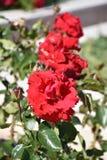 Rose sauvage Photos stock