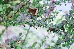 rose sauvage avec les fleurs rouges et noires de baies au printemps en gros plan photo stock