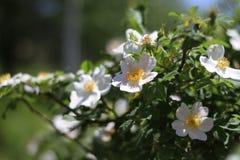 Rose sauvage blanche photos libres de droits