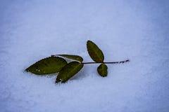 Rose sauvage dans la neige photo stock