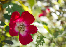 Rose sauvage de rouge et x28 ; Espèces de Rosa et x29 ; Photos stock