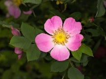 Rose sauvage rose Fleur de hanche de Rose Image libre de droits