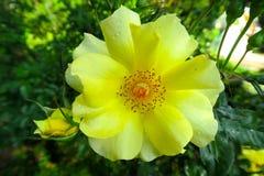Rose sauvage gentille de jaune avec des baisses de l'eau Images stock