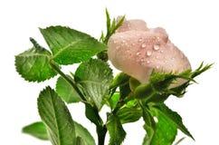 Rose sauvage rose Image stock