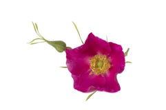 Rose sauvage rose d'isolement sur un fond blanc Photographie stock
