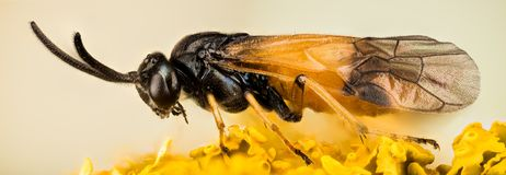 Rose Sawfly, Arge cyanocrocea. Insects - Rose Sawfly, Arge cyanocrocea Stock Photography