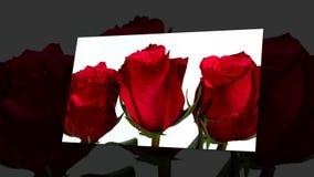 Rose sboccianti nel fondo bianco archivi video