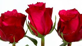 Rose sboccianti nel fondo bianco stock footage