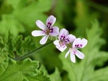 Rose-scented Pelargonium Stock Photos