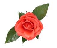 rose scharlakansrött Royaltyfri Fotografi