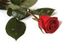 rose scharlakansrött Fotografering för Bildbyråer
