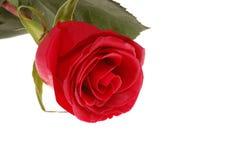 rose scharlakansrött Arkivfoto