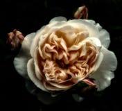 Rose scure di seppia sul nero Fotografia Stock Libera da Diritti