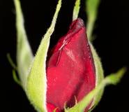 Rose se cerró cierre imágenes de archivo libres de regalías