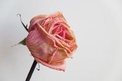 Rose se marchita imagenes de archivo