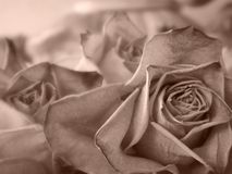 Rose secche Fotografie Stock Libere da Diritti