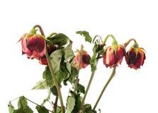 Rose secche sopra i precedenti isolati bianco Fotografie Stock Libere da Diritti