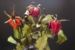 Rose secche in un vaso sulla tavola di legno sui precedenti neri immagini stock