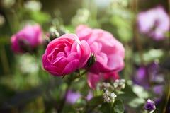 Rose in a secret garden Stock Photography