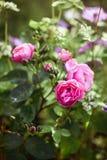Rose in a secret garden Stock Photo