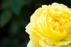 Rose Seikoh Lizenzfreie Stockfotos