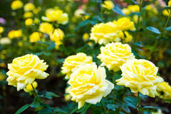 Rose Seikoh royalty free stock images
