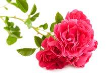 Rose selvatiche Immagine Stock