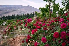 Rose selvatiche Immagini Stock Libere da Diritti