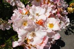 Rose selvatiche rosa in piena fioritura che prendono struttura fotografie stock