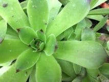 Rose Sempervivum nova ou de pedra verde Feche acima com o fundo de pedra natural Imagem de Stock Royalty Free