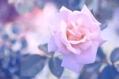 Rose sensible de rose avec la belle tonalité et les couleurs en pastel Rose sur un beau fond Photo stock