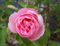 Rose rose sensible et subtile photographie stock