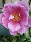 Rose. Serendipity , welcoming rose stock image