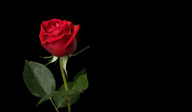 Rose Series Stock Photography