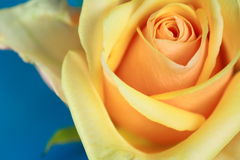 Rose Series. Closeup of a Yellow Rose with Blue Background Stock Photos