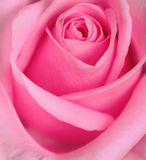 Rose Series. Close-up of a Pink Rose Royalty Free Stock Photo