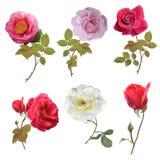 Rose set watercolor. Rose flowers set ,watercolor painting stock illustration