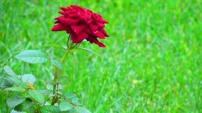 Rose seule Image libre de droits