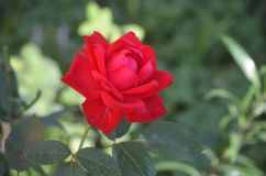 Rose seule images stock