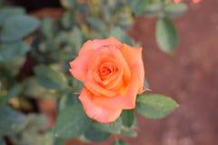 Rose Shades!! Fotografia Stock Libera da Diritti