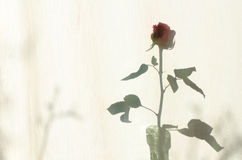 Rose shadow on textile courtain Royalty Free Stock Photography