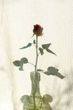 Rose shadow on textile courtain Stock Photography