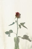 Rose shadow on textile courtain Royalty Free Stock Image