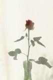 Rose shadow on textile courtain. Rose shadow on white textile courtain Royalty Free Stock Image