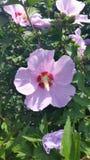 rose sharon royaltyfri foto