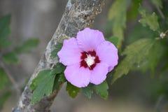 rose Sharon Zdjęcie Stock